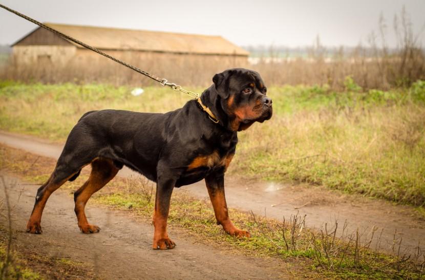 Utilisez un collier de dressage pour rendre votre chien obéissant !