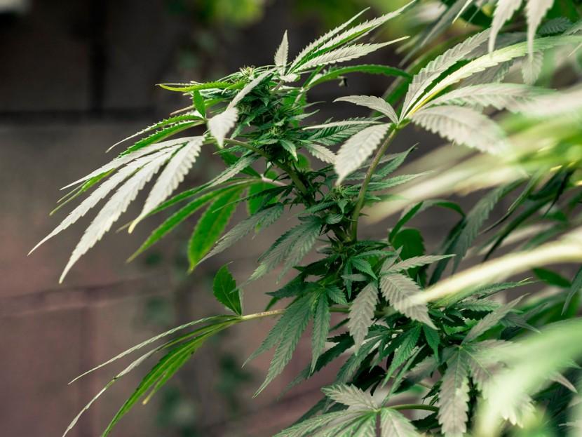 Les usages thérapeutiques du CBD et d'autres principes actifs issus du cannabis